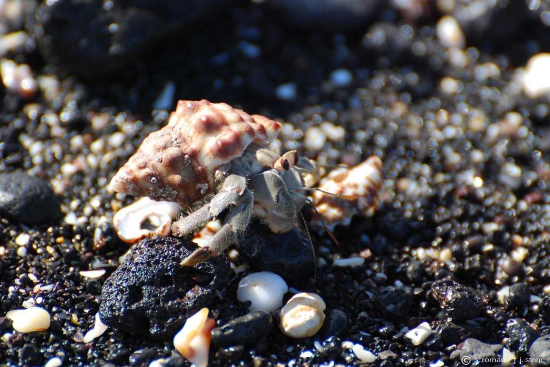 Semi-terrestrial hermit crab