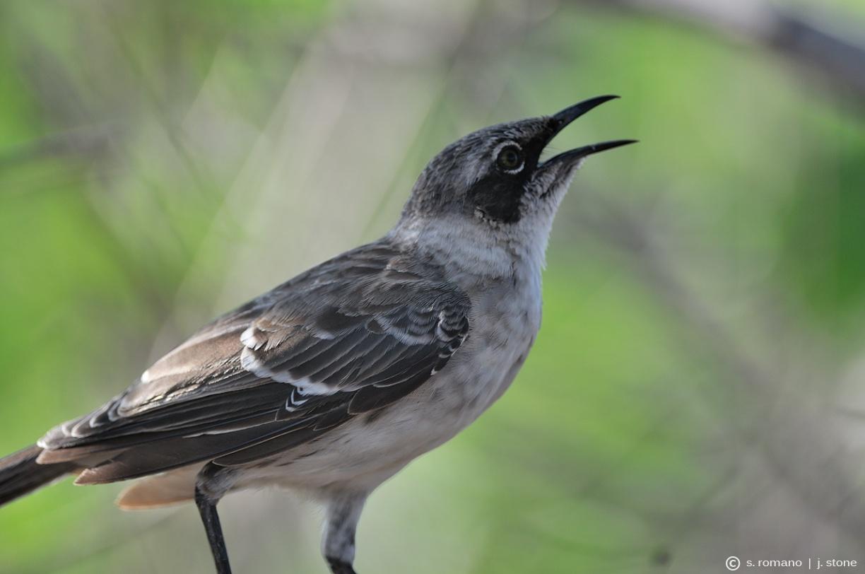 Galápagos mockingbird