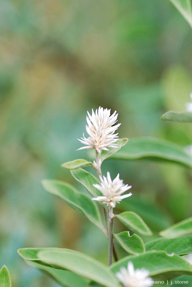Spiny-headed chaff flower