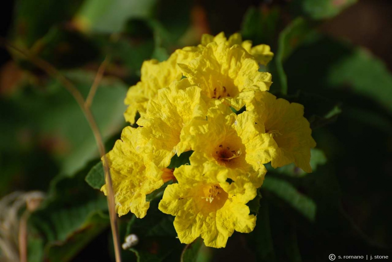 Yellow cordia (glue bush)