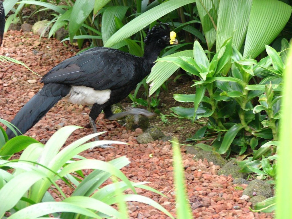 Great curassow (male)
