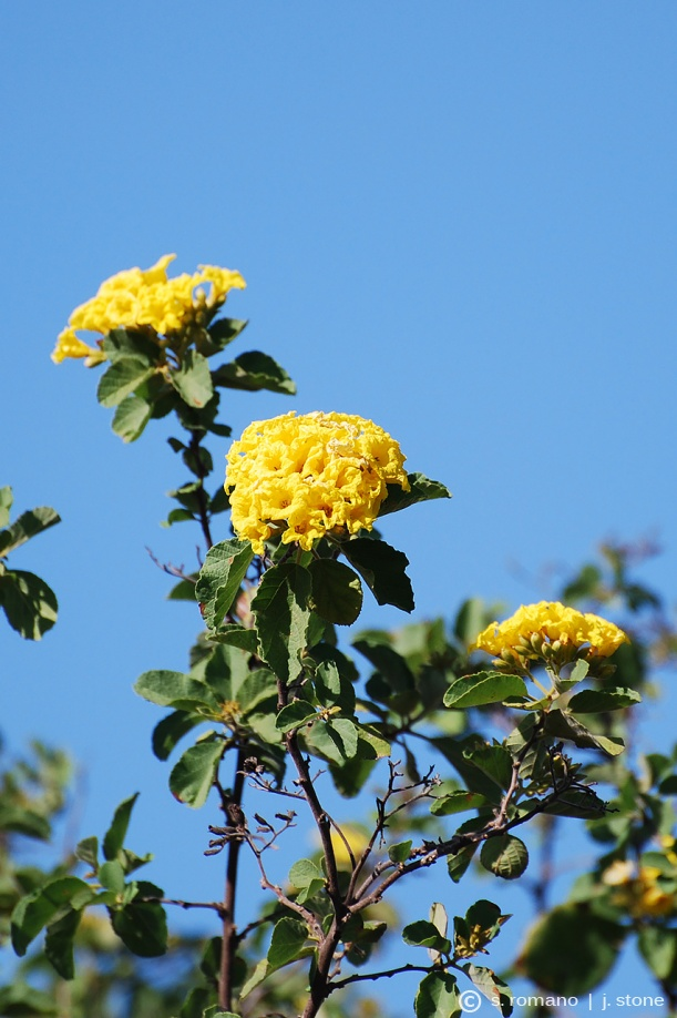 "Yellow cordia (""glue bush"")"