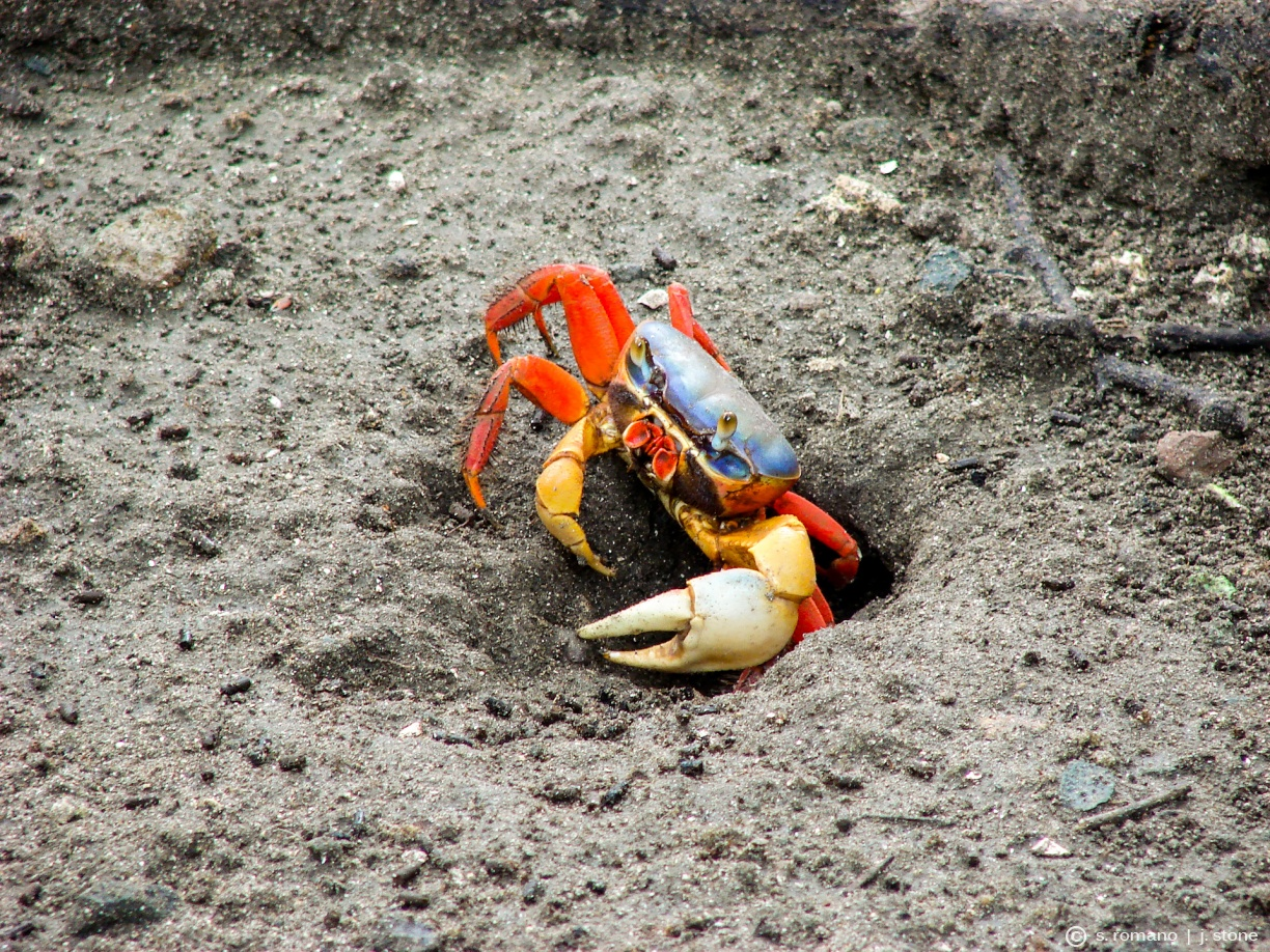 Red land crab (Halloween crab)