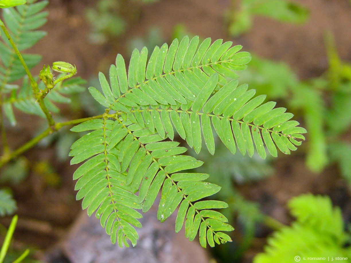 Sensitive plant (before touching)
