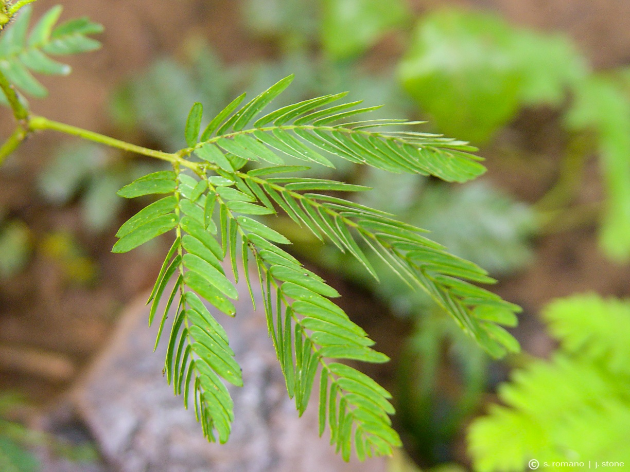 Sensitive plant (after touching)