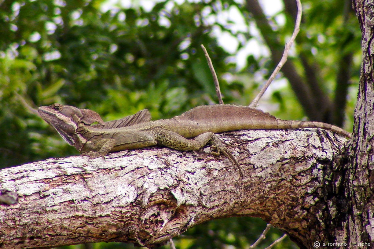 Common basilisk (Jesus Christ lizard)