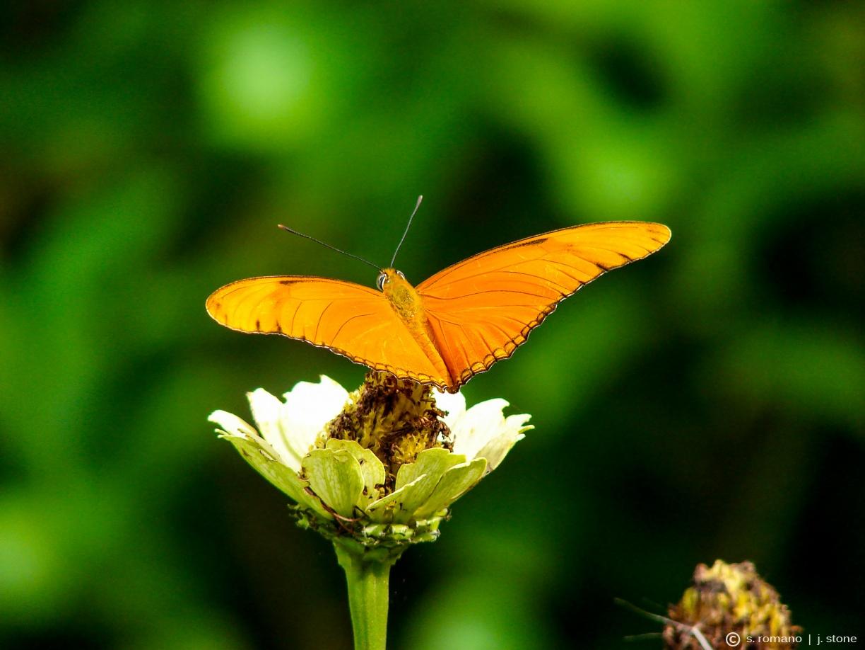 Dryas iulia (Julia butterfly)