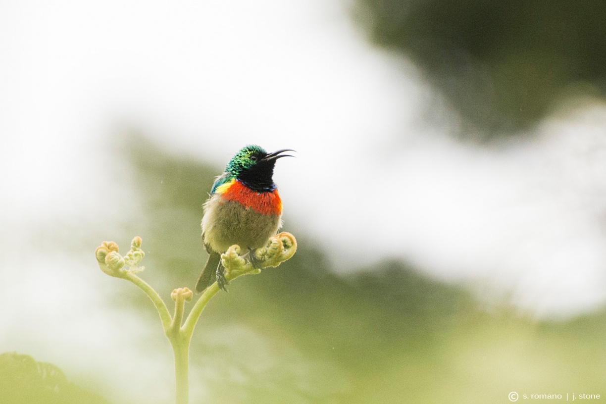 Eastern double-collared sunbird