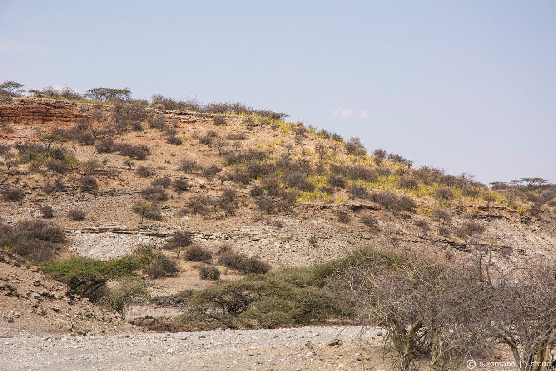 Oldupai (wild sisal) plants