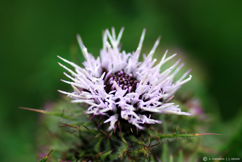 Thistle (Carduus keniensis)