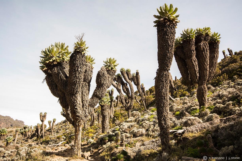 Giant groundsel (Senecio kilimanjari)