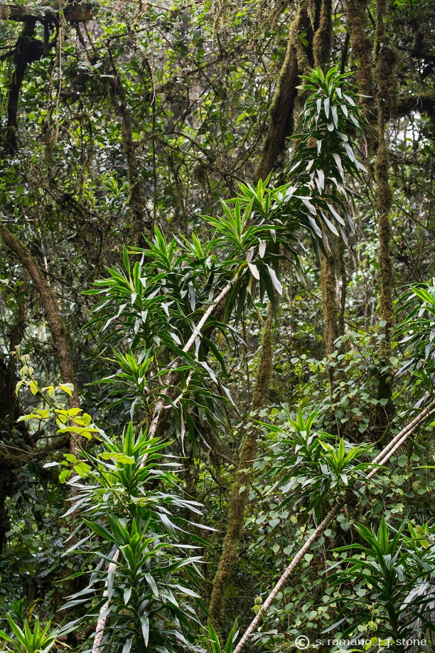 "Masale (""peace plant,"" Chagga)"
