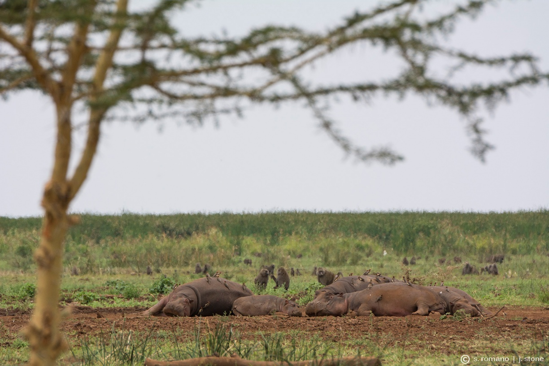 Hippopotamus & olive baboon