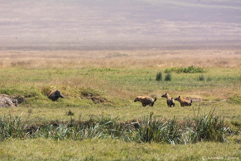 Warthog & spotted hyena
