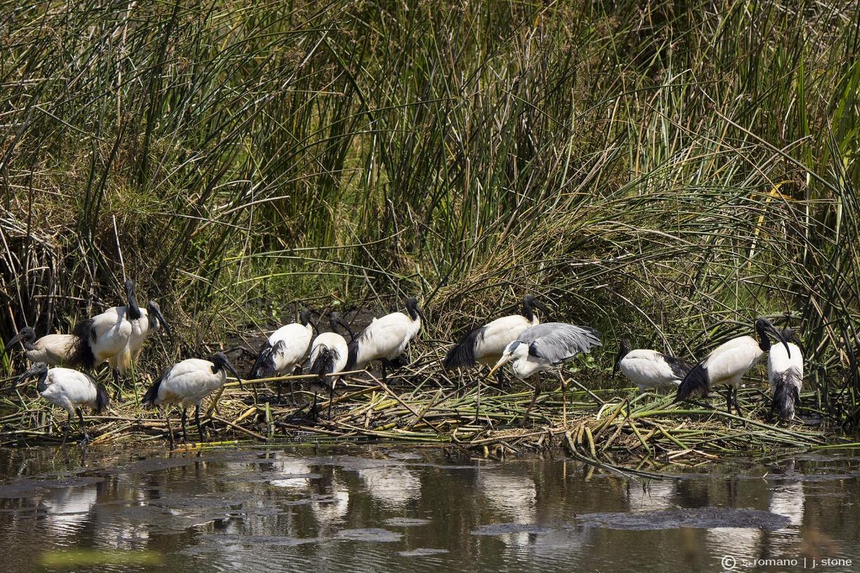 Sacred ibis & grey heron