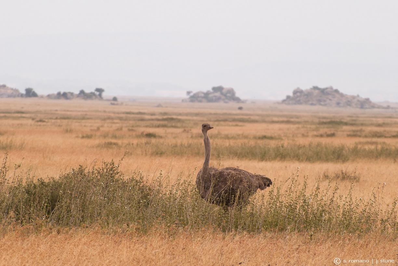 Ostrich (female)