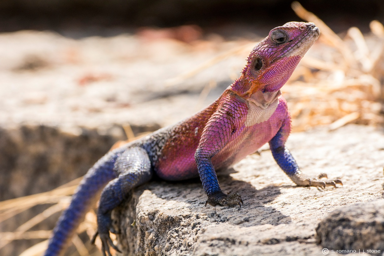 Mwanza flat-headed agama