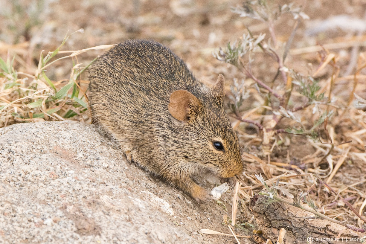 Unstriped grass rat (Neumann's grass rat)