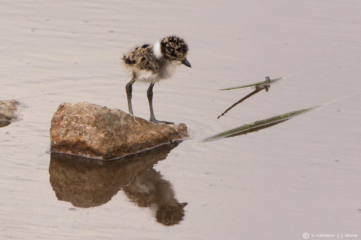 Blacksmith plover (juvenile)