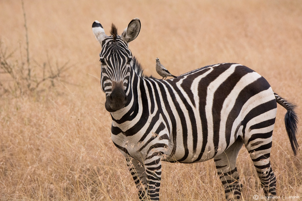 Plains zebra & wattled starling