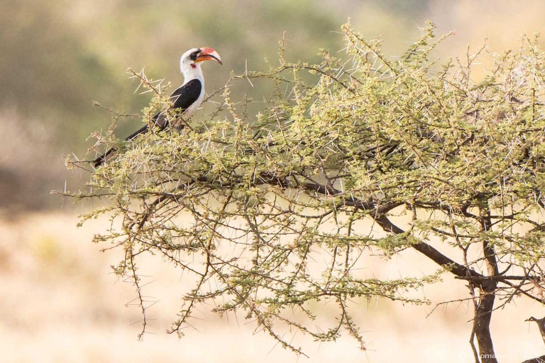 Von der Decken's hornbill (male)