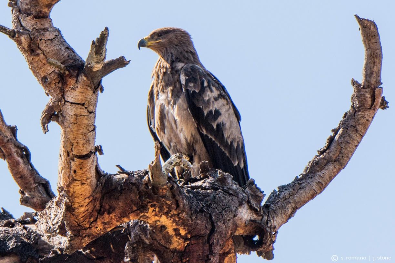 Tawny eagle (immature)