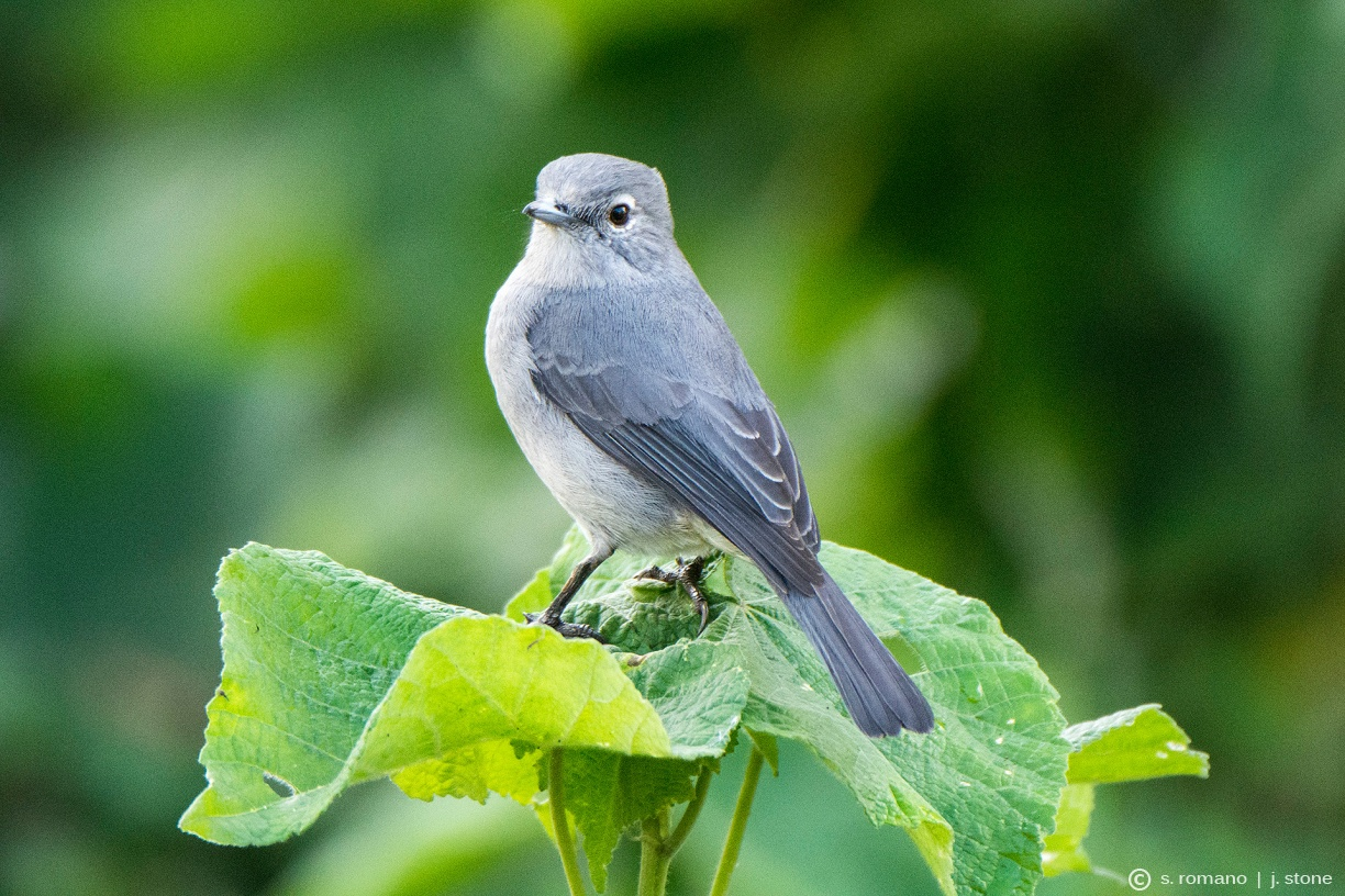 White-eyed slaty flycatcher