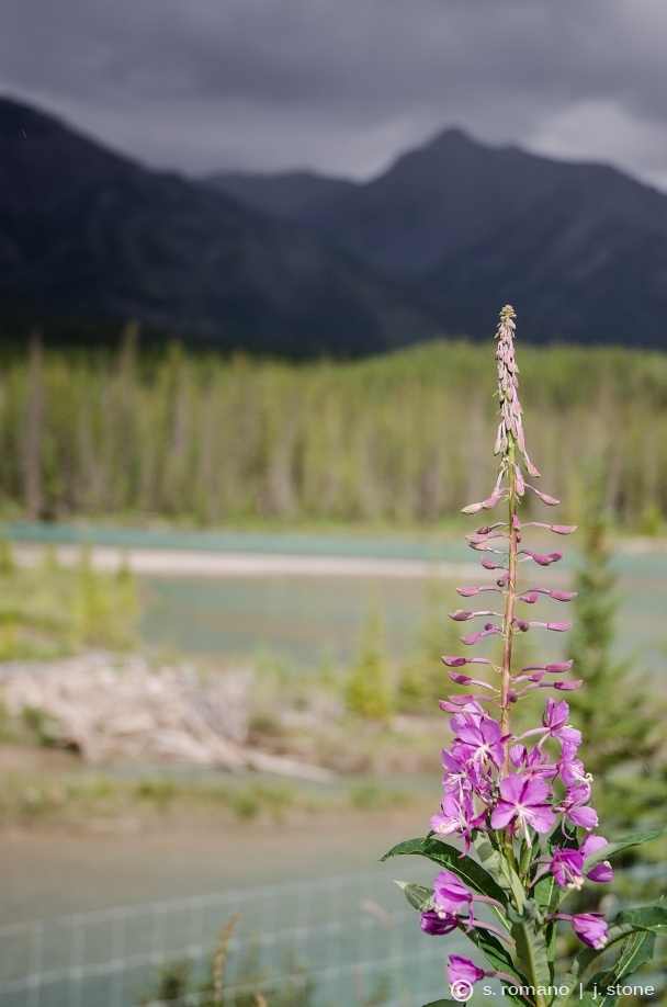 Lupine along Bow River
