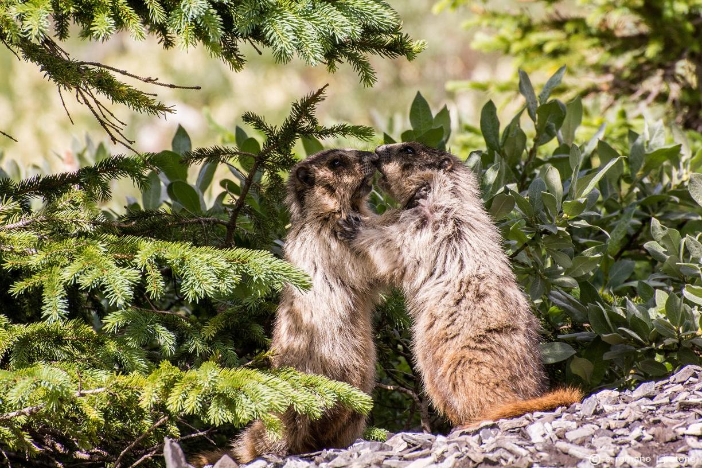 Kissing marmots