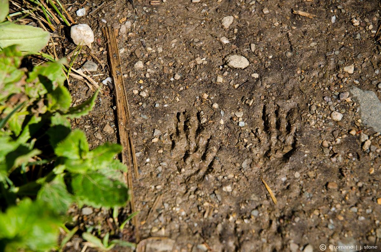 Marmot footprints