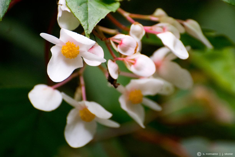 Begonia meyeri-johannis