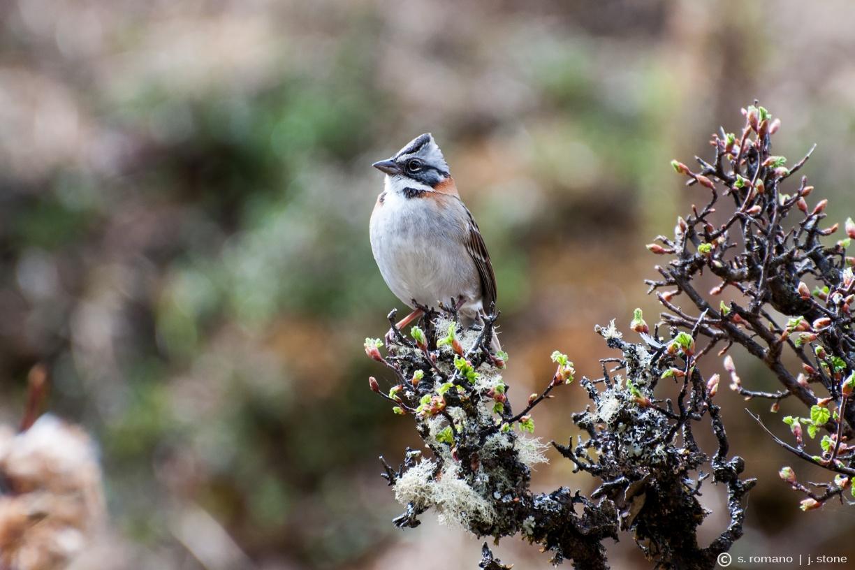 Rufous-collared sparrow