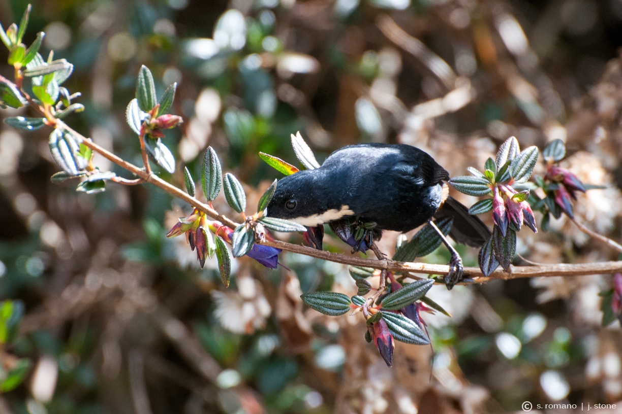Moustached flowerpiercer