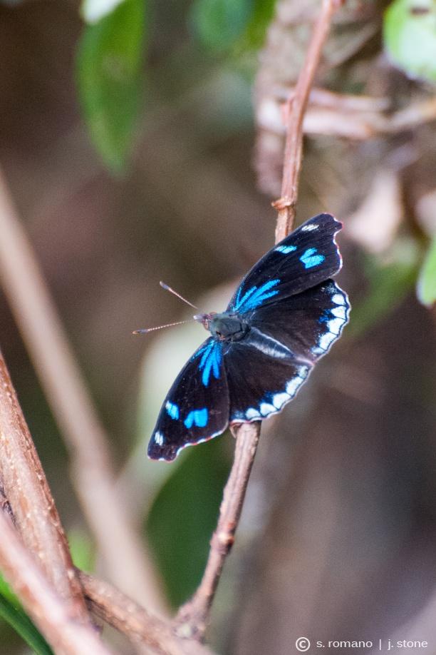 Orophila diotima