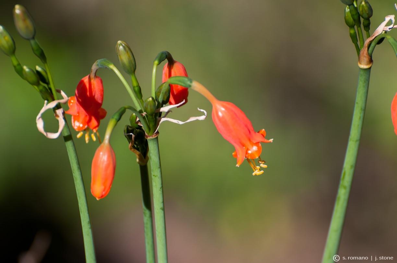 Peruvian amaryllis, urnflower (Stenomesson miniatum)