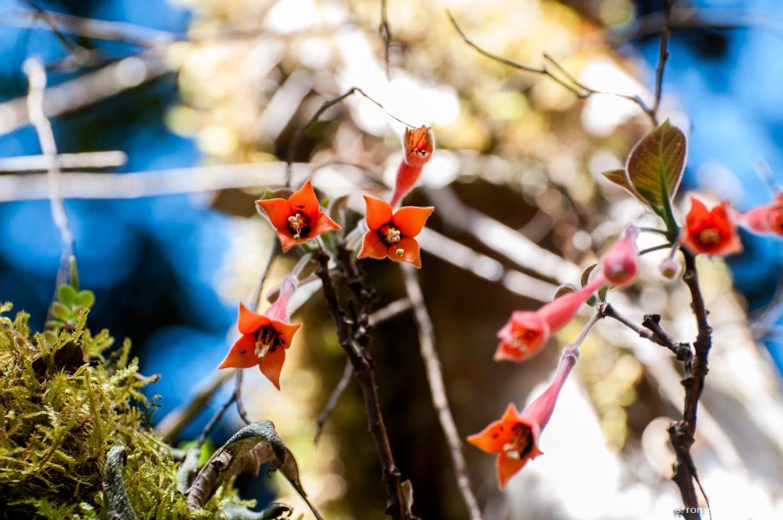 Fuchsia apetala