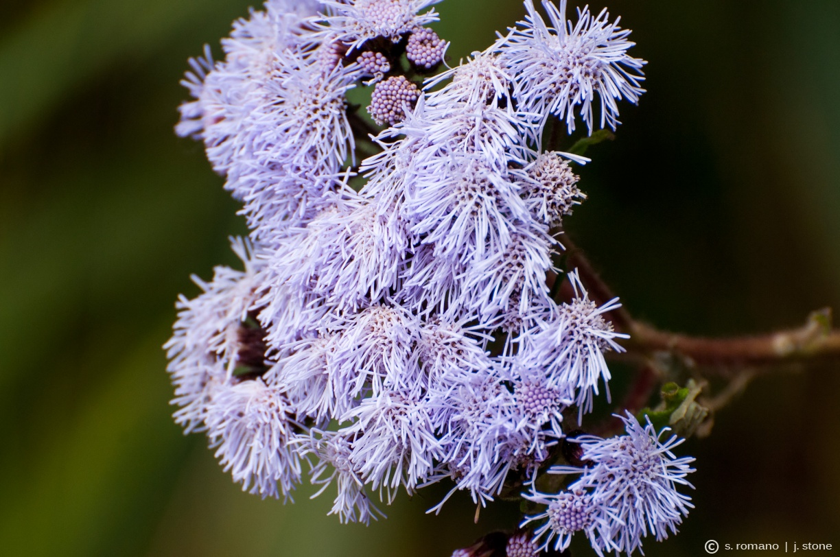 Blue billygoat weed, flossflower (Ageratum)