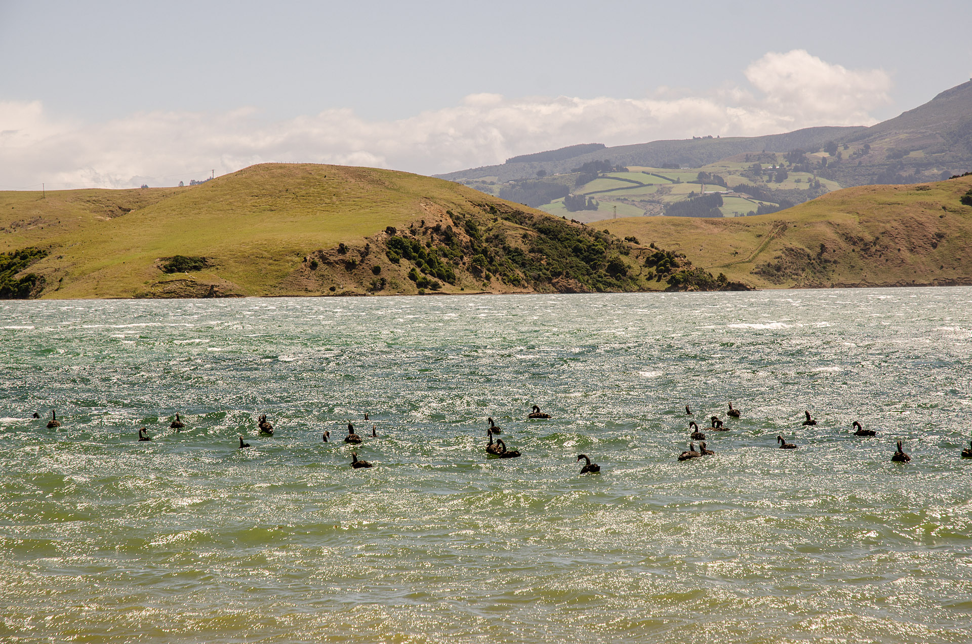 Black Swans (Otago Peninsula)