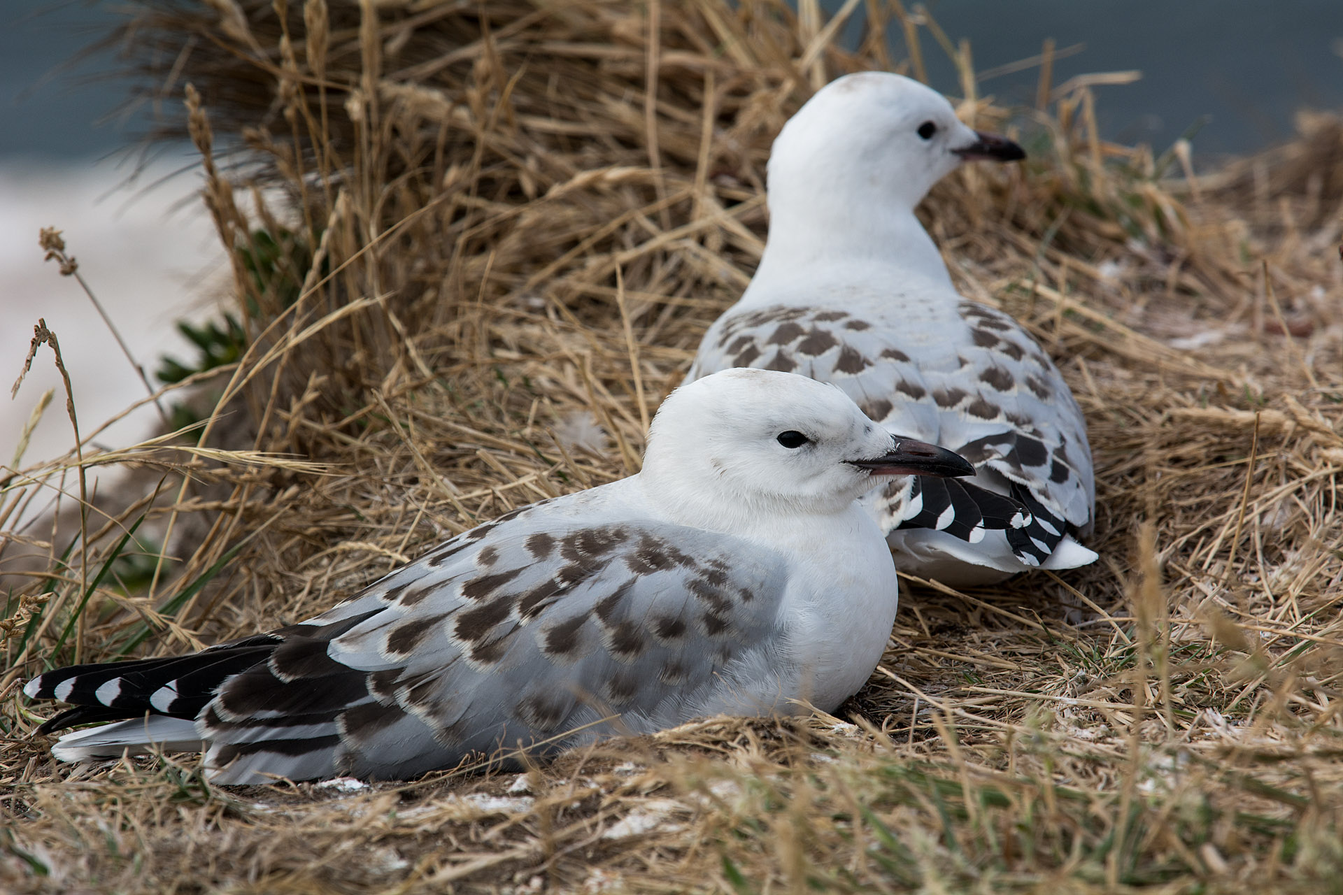 Red-billed Gull (juvenile)