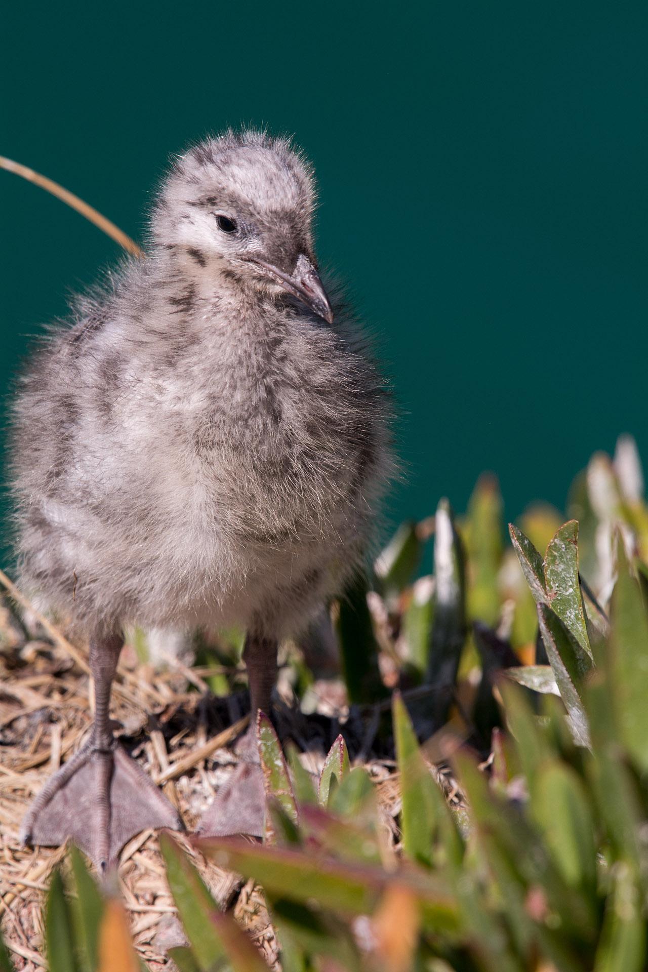 Red-billed Gull (chick)