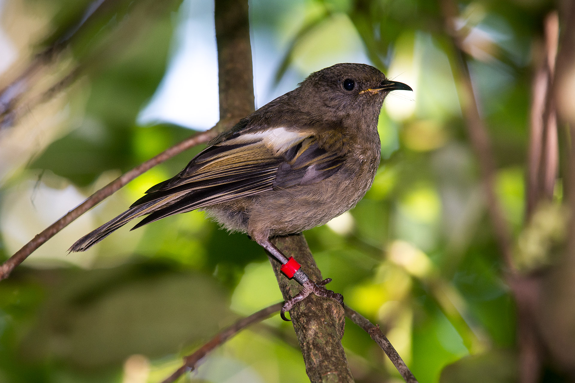 Stitchbird (Hihi), female
