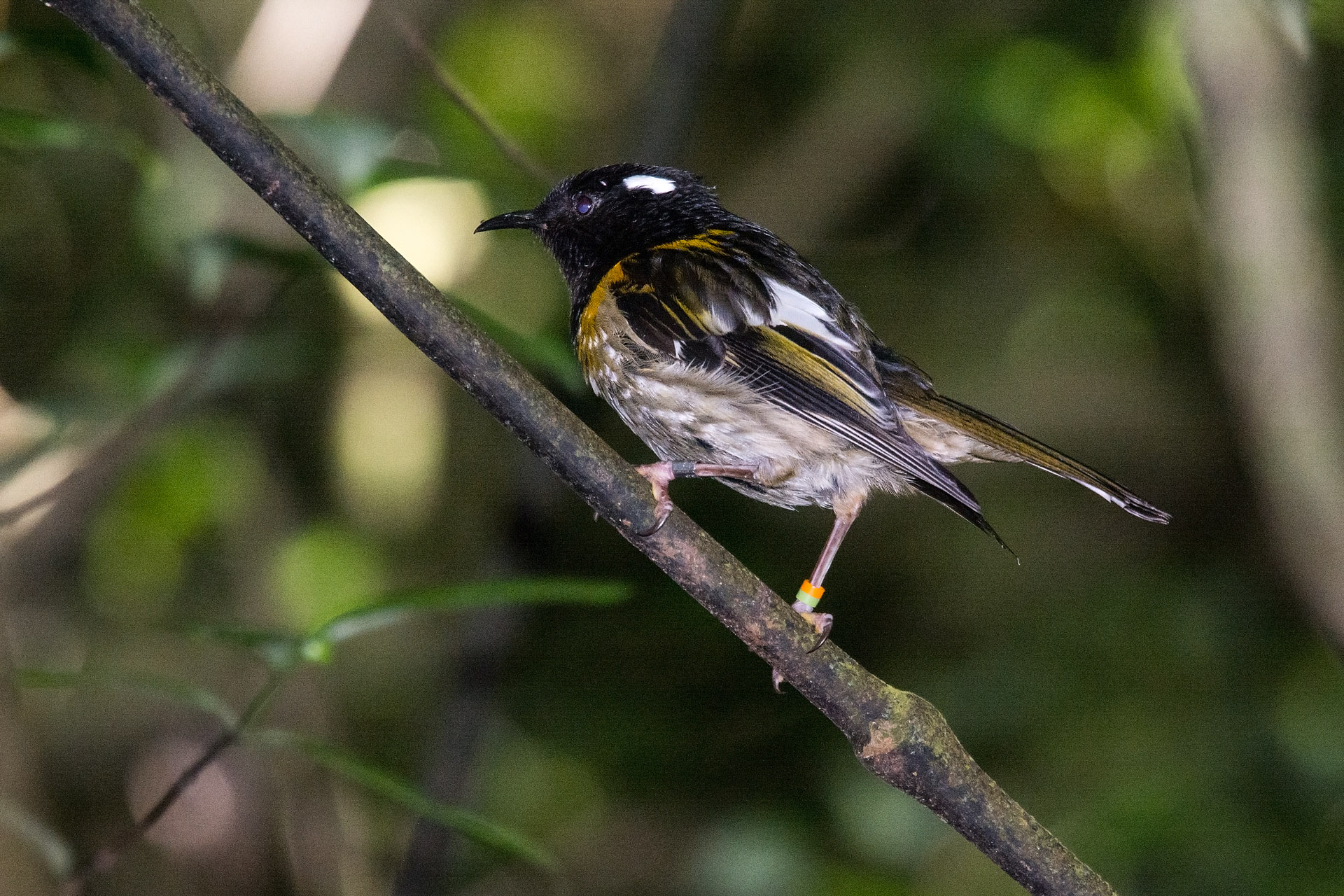 Stitchbird (Hihi), male