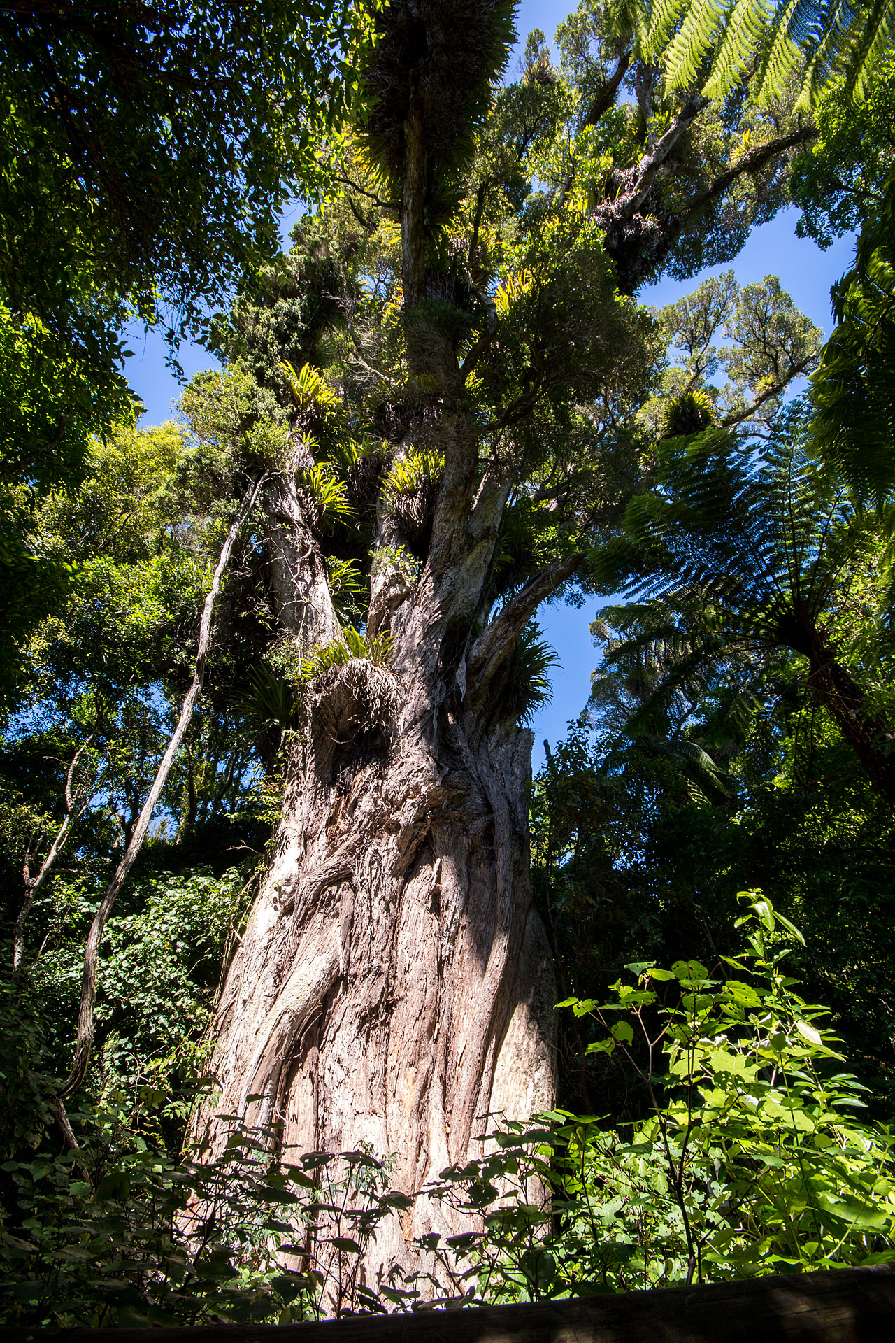 Northern Rata Tree (Ratanui)