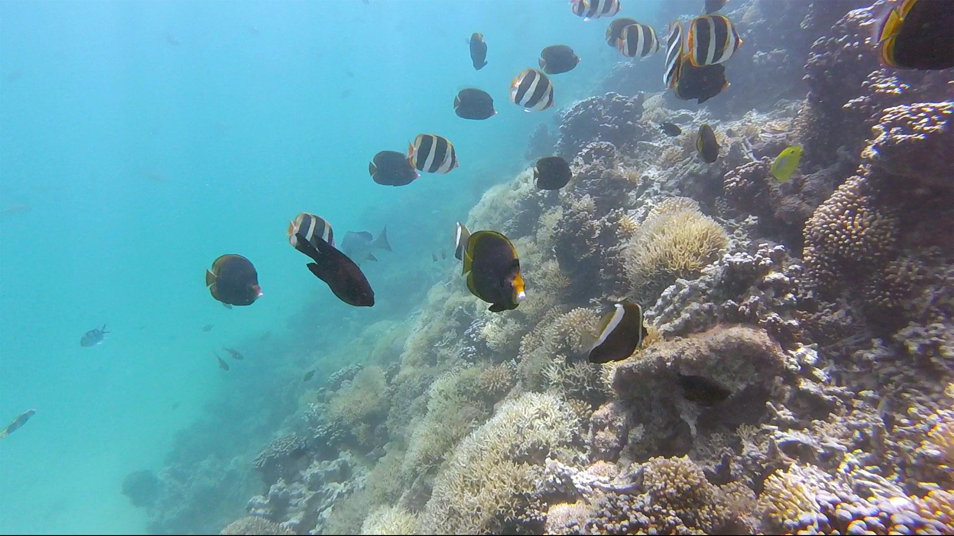 Dusky butterflyfish & Lord Howe butterflyfish