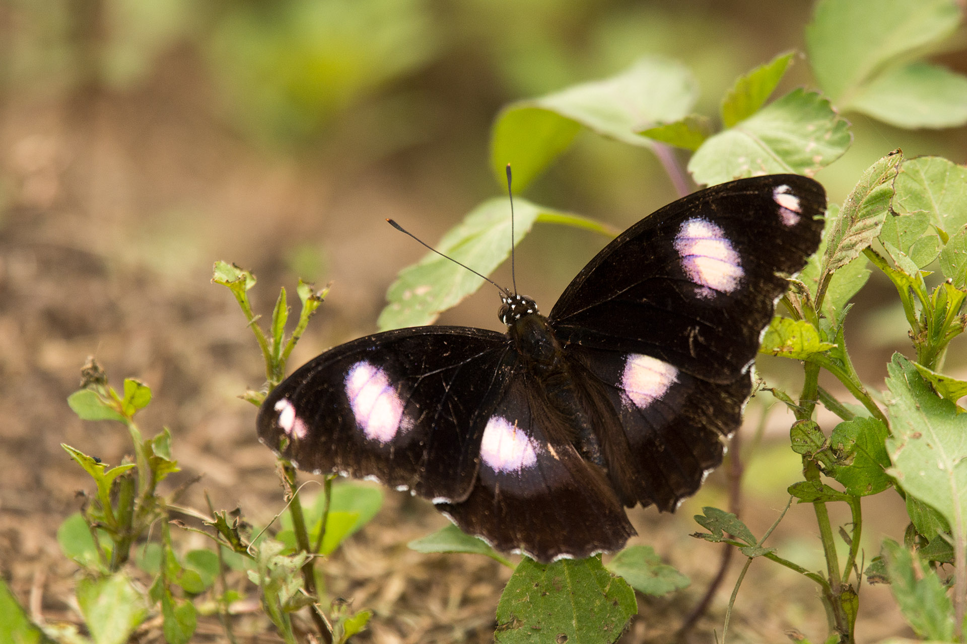 Common eggfly butterfly (male)