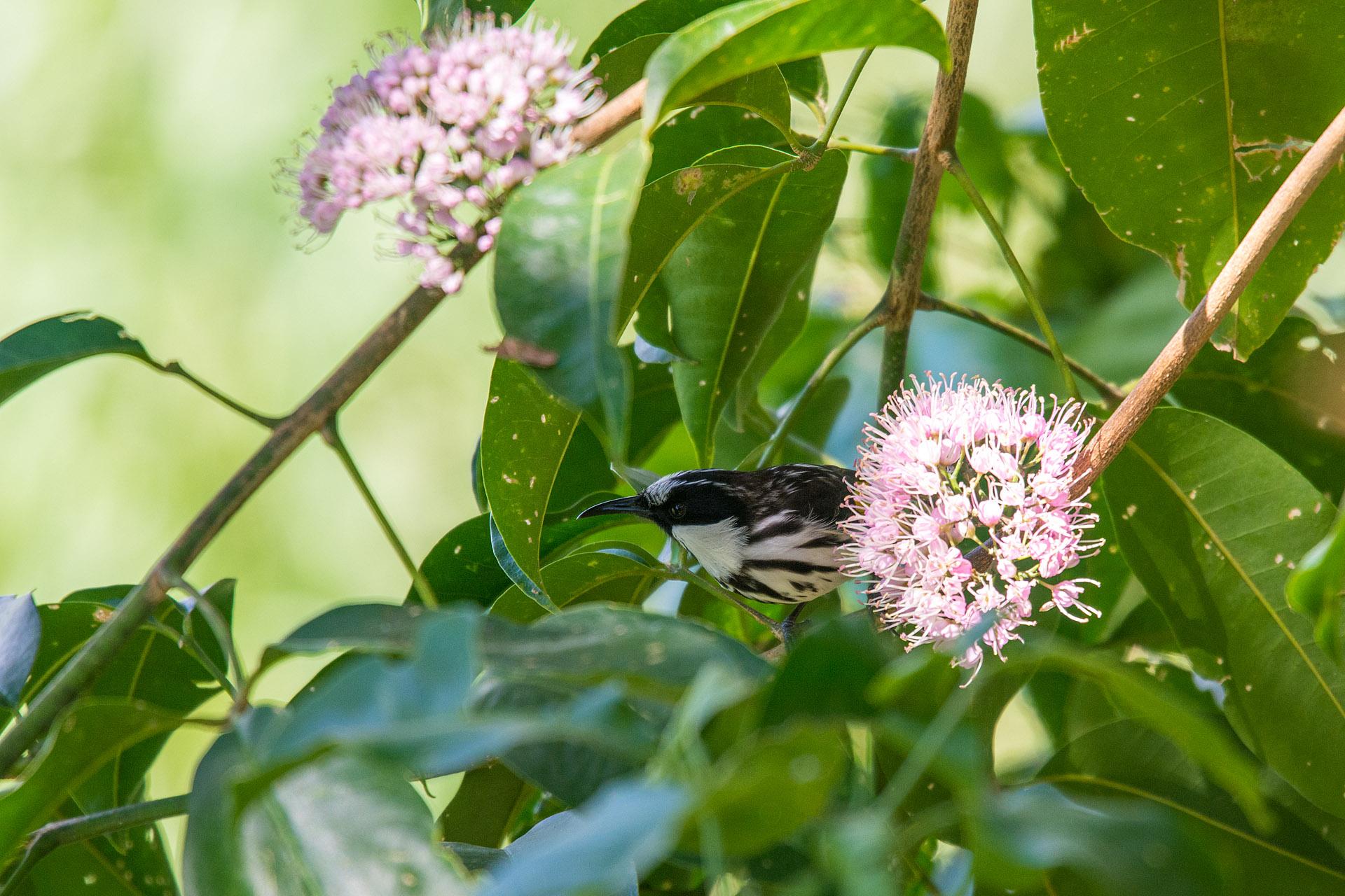 White-cheeked honeyeater