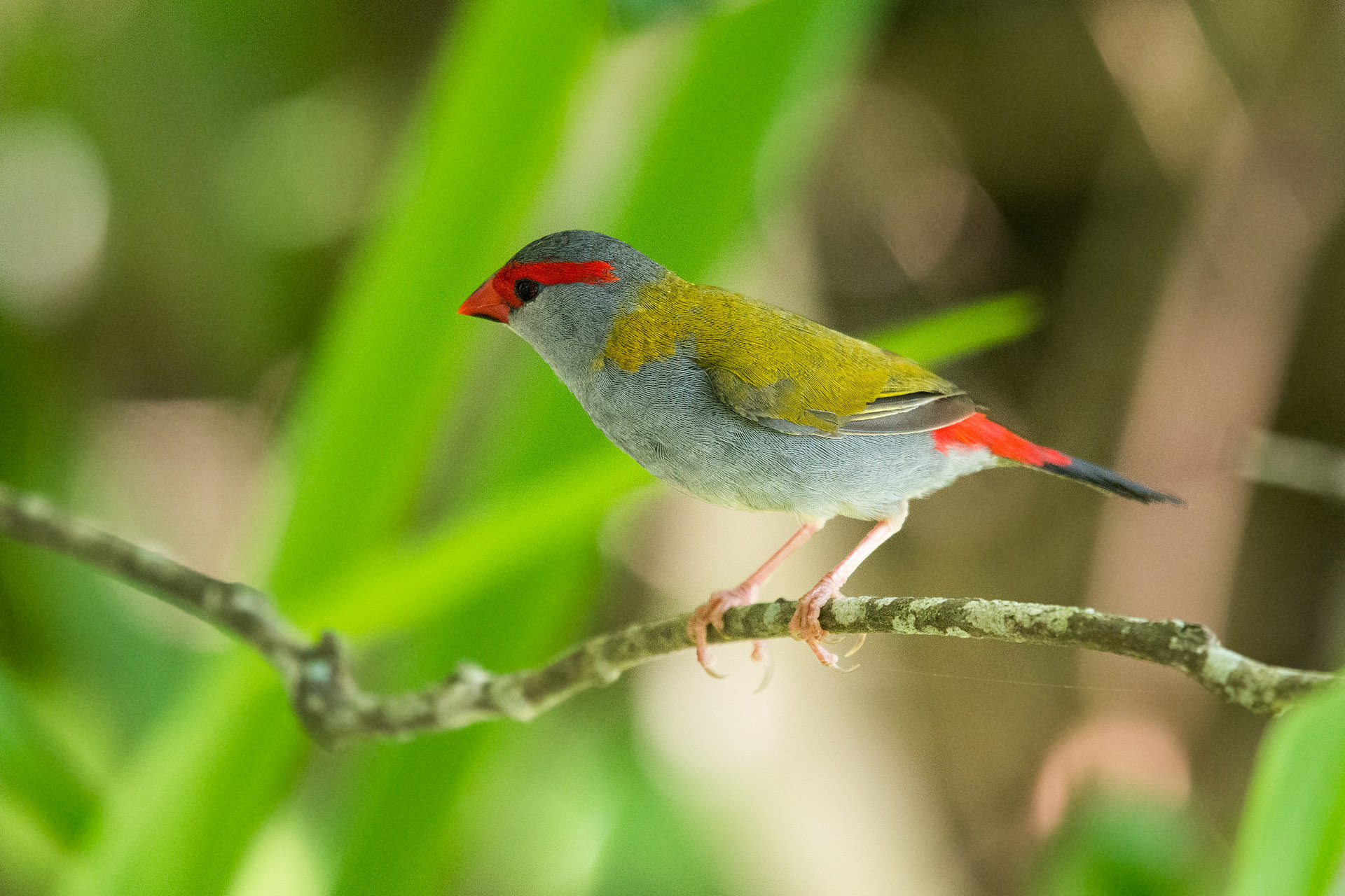 Red-browed firetail (finch)
