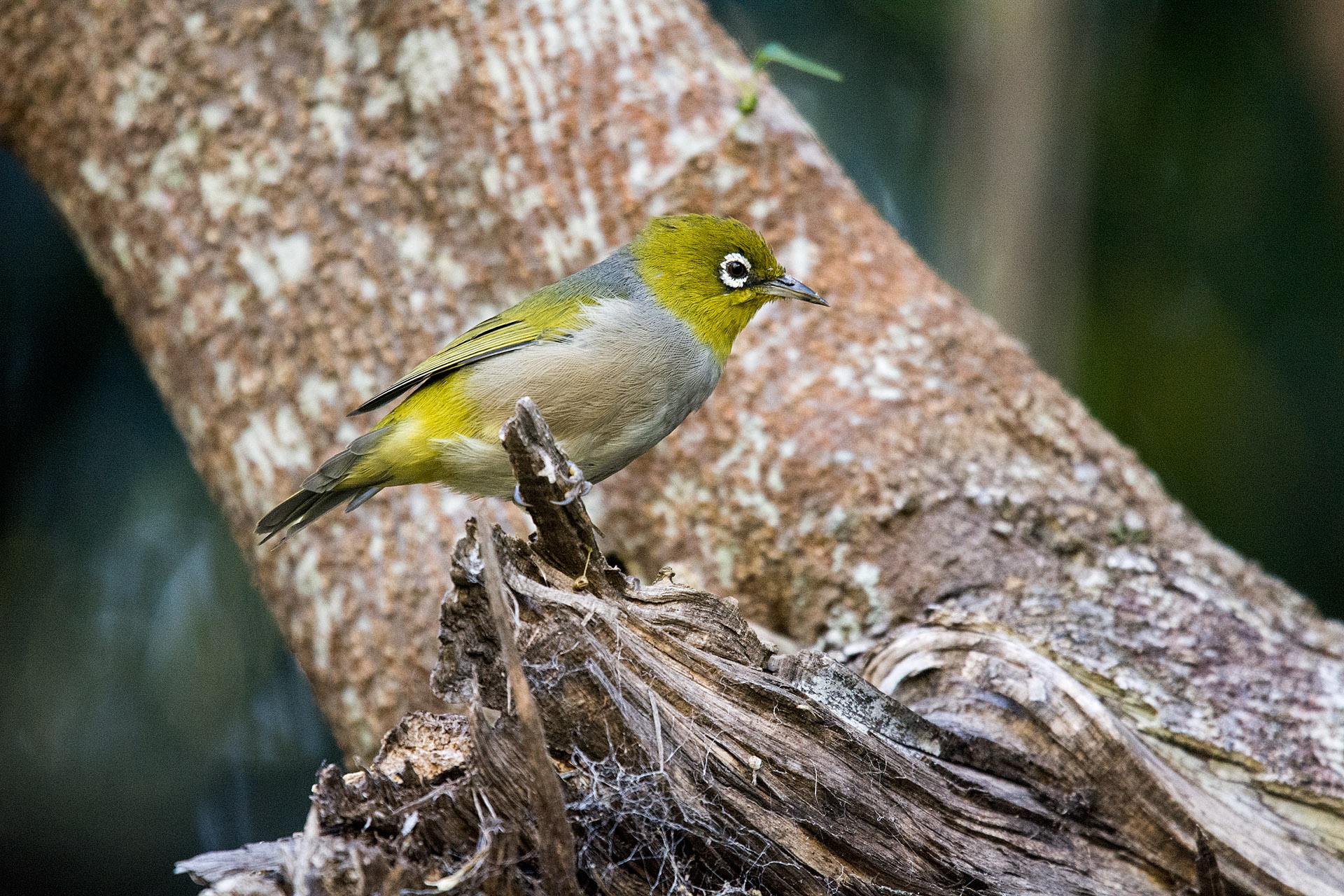 Lord Howe White-eye