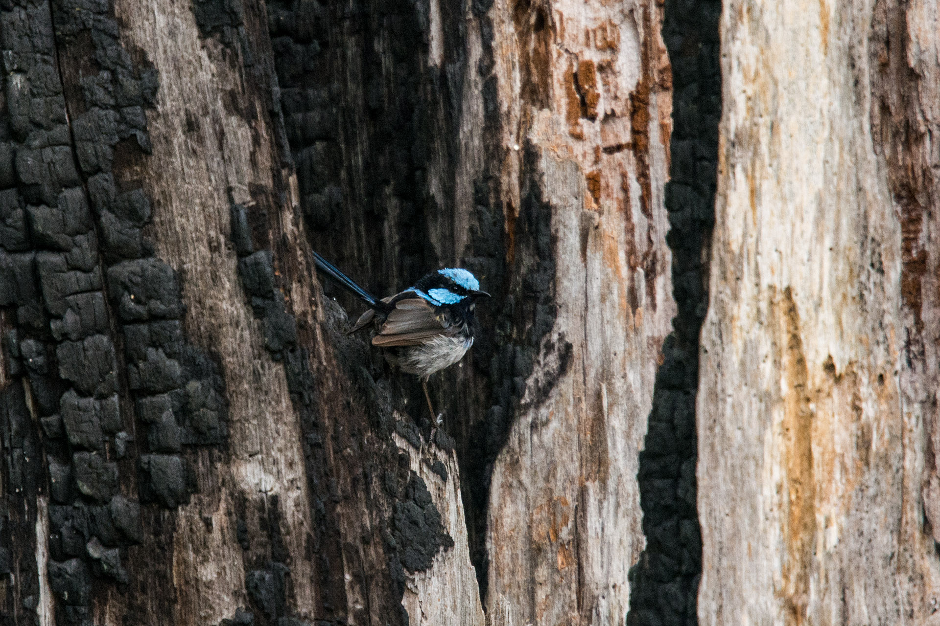 Superb fairywren (male)