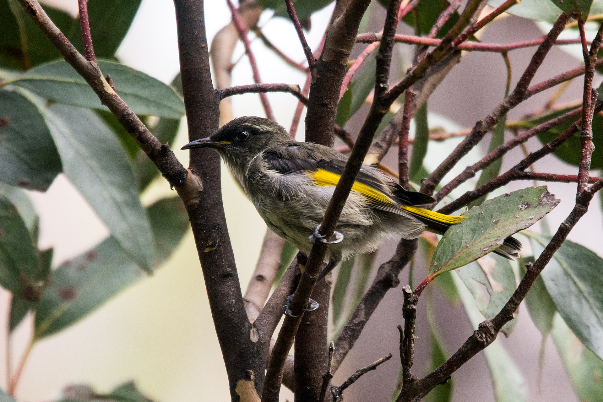 Crescent honeyeater